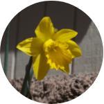 daffodil curb appeal