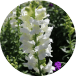 delphinium curb appeal flowers