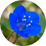 desert bluebells curb appeal flowers