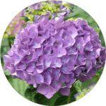 hydrangea curb appeal flowers