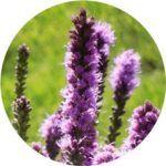 liatris curb appeal flowers