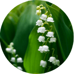 lily of the valley for curb appeal
