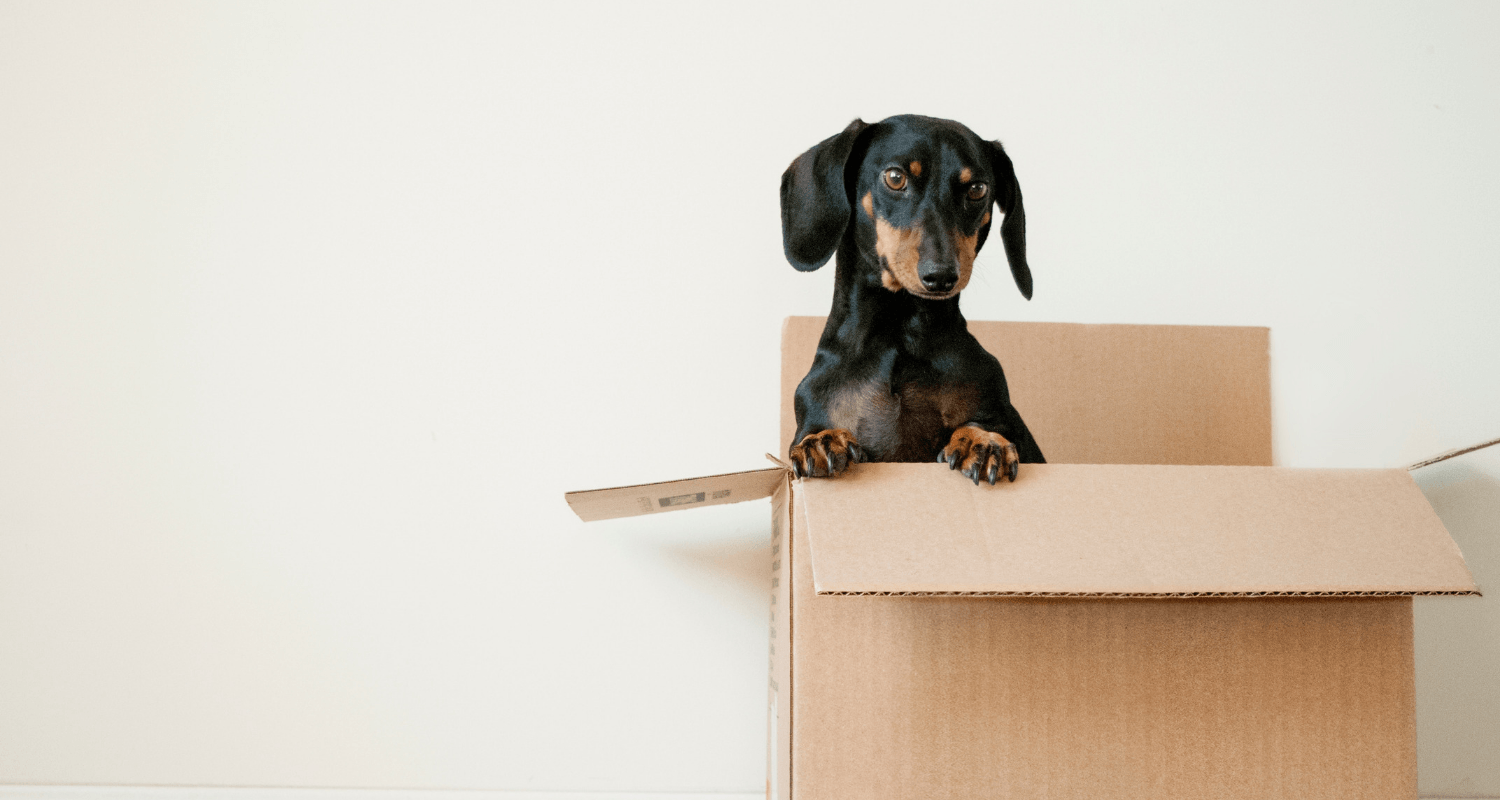 A dog in a box, making a moving day less stressful.